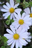 狂放的白色春黄菊花在秋天 库存照片