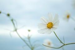狂放的白色纯净的花2 免版税库存照片