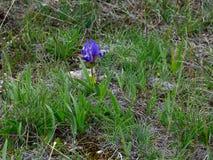 狂放的矮小的紫色虹膜在黑海海岸的春天 免版税库存照片
