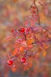 狂放的秋天上升了用红色果子和五颜六色的叶子 库存图片