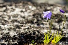 狂放的紫色吊钟花在寒带草原在春天 免版税库存照片