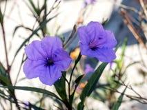 狂放的紫色花在自然世界01开花 免版税库存照片