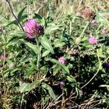 狂放的红三叶草在威斯康辛原野 免版税库存照片