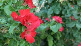 狂放的红色花在领域或草甸增长 r r 影视素材