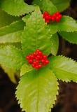 狂放的红色莓果灌木在香港 免版税库存图片