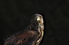 狂放的红色被盯梢的鹰 库存照片