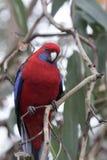 狂放的绯红色Rosella,Platycercus elegans,澳大利亚鹦鹉,澳大利亚 免版税图库摄影