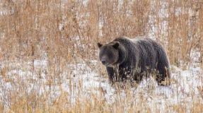 狂放的美国北美灰熊熊属类arctos 库存照片