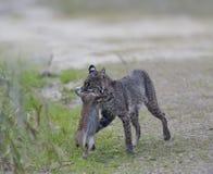 狂放的美洲野猫狩猎 库存照片