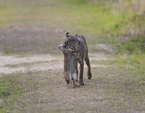 狂放的美洲野猫狩猎 免版税库存照片