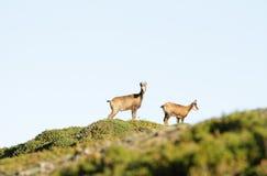狂放的羚羊夫妇  免版税库存照片
