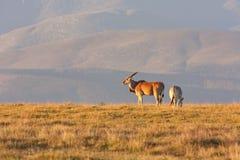 狂放的羚羊 库存图片