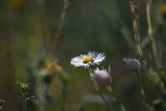 狂放的翠菊花 库存照片