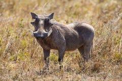 狂放的肉猪在塞伦盖蒂 免版税库存图片