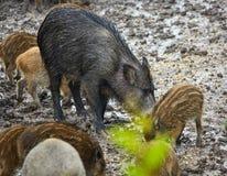 狂放的肉猪女性和小猪在泥 免版税库存照片