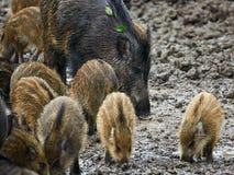 狂放的肉猪女性和小猪在泥 免版税库存图片