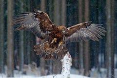 从狂放的自然的野生生物场面 在冬天期间,飞行鸷与大翼展,与雪剥落的照片的鹫,黑暗 图库摄影