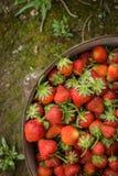 狂放的自然红色草莓,在土气铁罐的草莓 免版税库存照片