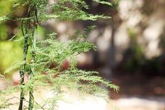 狂放的芦笋在庭院里 免版税库存图片