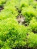 狂放的芦笋racemosus在有机庭院里 免版税库存照片