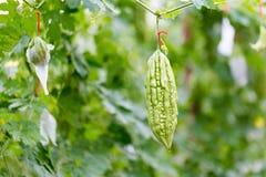 狂放的苦涩金瓜,苦黄瓜,苦涩金瓜在庭院里 图库摄影