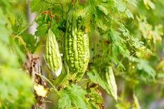 狂放的苦涩金瓜,苦黄瓜,苦涩金瓜在庭院里 免版税库存照片