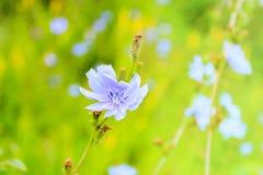 狂放的苦苣生茯开花在草甸 免版税库存图片