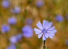 狂放的苦苣生茯菊苣属intybus蓝色花  美丽的多年生植物,草本野花 图库摄影