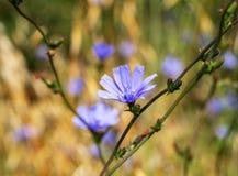 狂放的苦苣生茯菊苣属intybus蓝色花  美丽的多年生植物,草本野花 库存照片