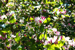 狂放的茉莉花树 库存图片