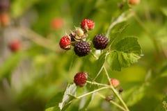 狂放的莓准备好采摘 免版税库存图片