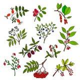 狂放的莓果集合 库存图片