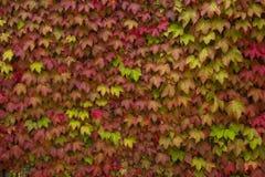 狂放的葡萄五颜六色的叶子在墙壁上的 免版税库存照片