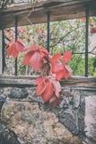 狂放的葡萄分支在石花岗岩墙壁背景的  免版税库存照片