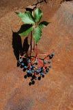 狂放的葡萄分支用成熟莓果和叶子在老生锈的金属背景 免版税图库摄影