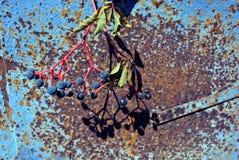 狂放的葡萄分支用成熟莓果和叶子在老蓝色生锈的金属背景 库存图片