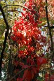 狂放的葡萄叶子在一晴朗的秋天天 免版税库存图片