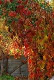 狂放的葡萄叶子在一晴朗的秋天天 库存照片