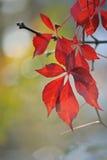 狂放的葡萄叶子在秋天 库存图片