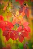 狂放的葡萄在红色和金子颜色的秋天 免版税库存图片