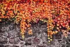 狂放的葡萄秋天叶子在石墙或篱芭,室外自然背景上的 库存图片