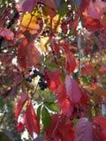 狂放的葡萄秋天日落 免版税库存照片