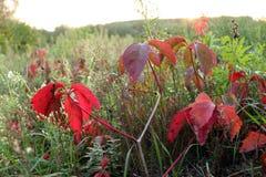 狂放的葡萄红色叶子在树的 免版税库存照片