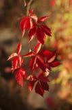 狂放的葡萄红色叶子 免版税库存照片
