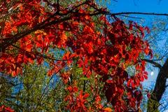 狂放的葡萄美丽的秋叶  图库摄影