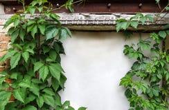 狂放的葡萄藤本植物美好的葡萄酒框架在老破旧的墙壁上的有一个白色门的 库存照片