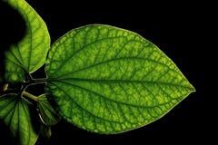 狂放的蒋酱之叶leafbush或吹笛者sarmentosum roxb细节在黑色 图库摄影
