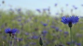 狂放的蓝色矢车菊花绽放移动风 4K 股票视频