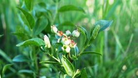 狂放的蓝莓灌木在森林里用早期的未成熟的绿色莓果,在他们转动蓝色前 股票视频