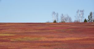 狂放的蓝莓领域在春天 免版税库存照片
